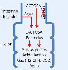 fermentacion lactosa