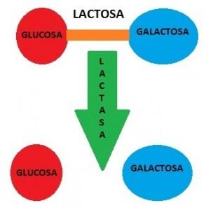 Digestión de la lactosa